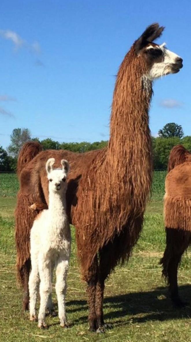 Fehrenbach Farms Female Llamas